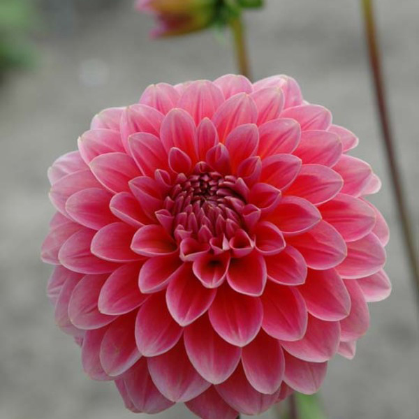 Pink-Runner-Dahlia-Tubers-for-Sale