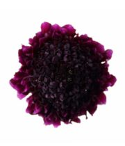 Scabiosa, Red Velvet Scoop-purple