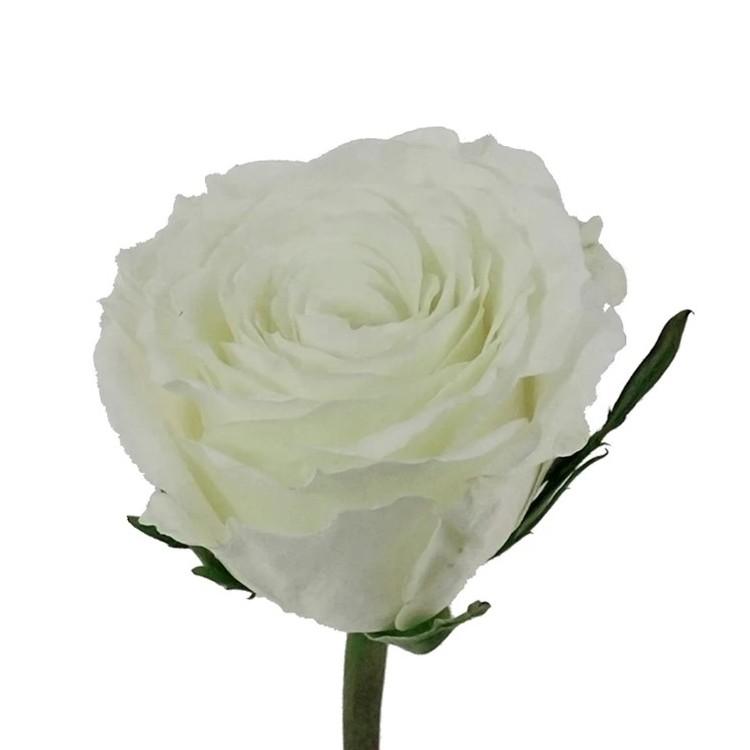 Snowy Jewel Roses
