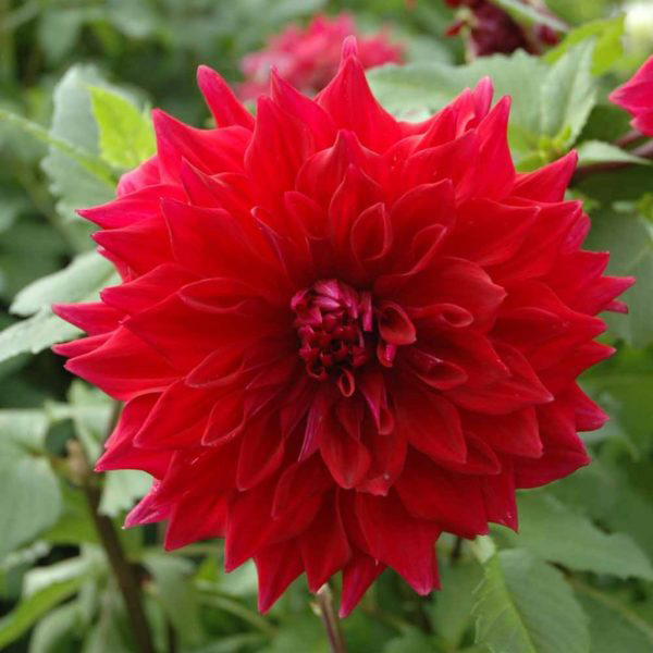 Zorro red dinnerplate dahlia tubers for sale