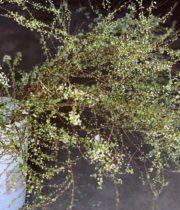 Spirea, Japanese Meadowsweet
