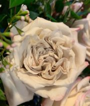 Rose, Westminster Abbey-SA
